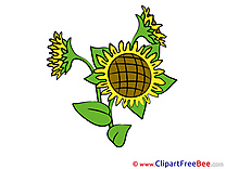 Sunflower free Illustration Flowers