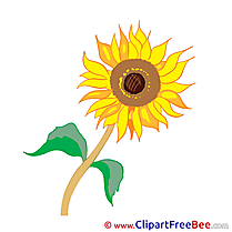 Sunflower Pics Flowers free Cliparts